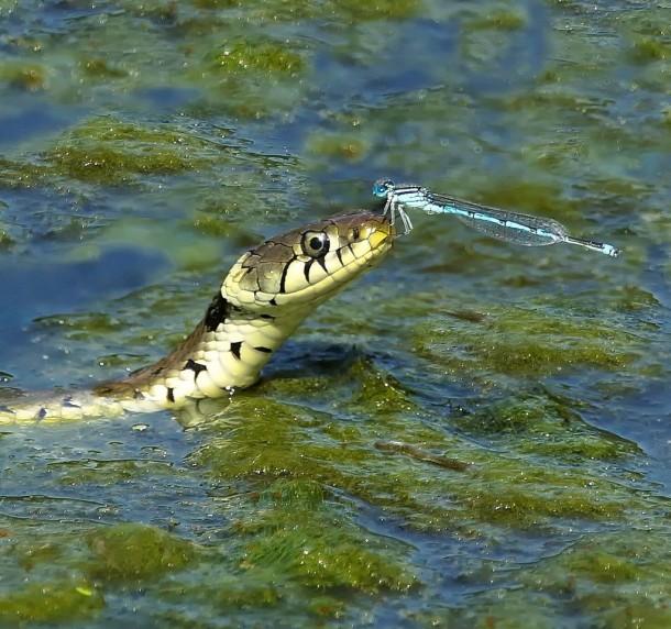 snake dragonfly